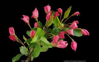 http://wallpaper-4k-tapety.blogspot.com/2015/03/jabon-sargenta-tina-kwiaty-malus.html