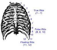 jumlah tulang rusuk manusia
