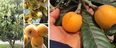 fotografias de arbol de nispero, flores, frutos
