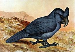 Papagaio-de-Bico-Largo (Lophopsittacus mauritianus)
