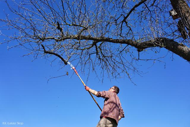 wycinanie suchych gałęzi na dzrewie