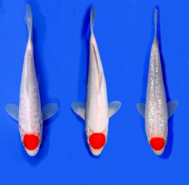Dunia Ikan Hias - KOI TANCHO KOHAKU