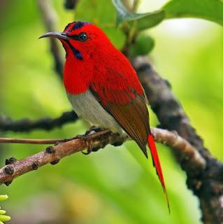 Burung Madu Leher Merah