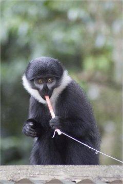 تقنية الحبل ومربى فراولة، تقنية جديدة لكشف القرود المصابة بالأمراض الفيروسية!