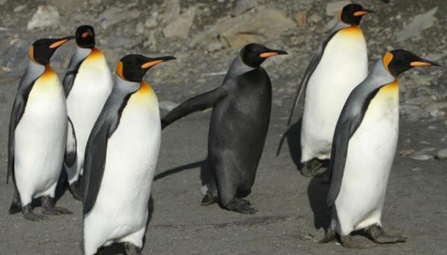 Inilah Enam Hewan Melanistic Paling Menakjubkan Yang Ada Di Seluruh Dunia
