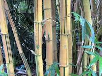 Menguak Misteri Mistik Bambu Keramat Di Panembahan Joyoboyo