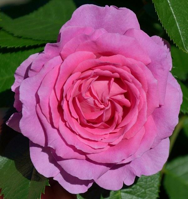 Claire Marshall сорт розы фото