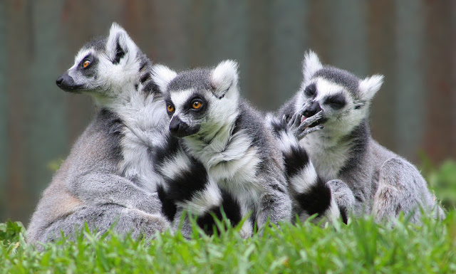 Lemur facts and information 3