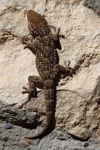 Naturaleza Aragonesa La Salamanquesa Común Tarentola Mauritanica En Aragón