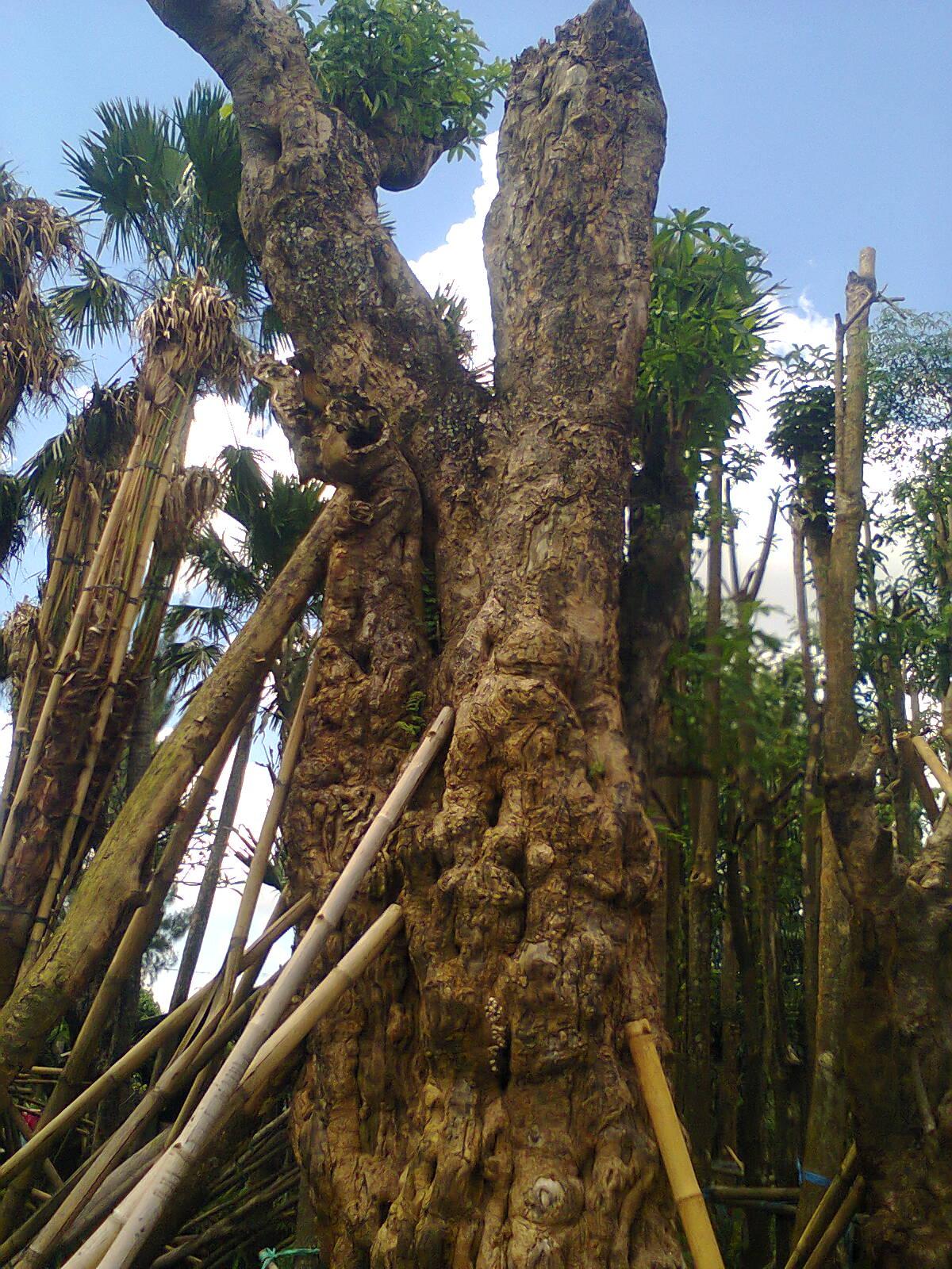 Jual Pohon Pule Besar  Bonsai Pule  Pule Fosil Murah