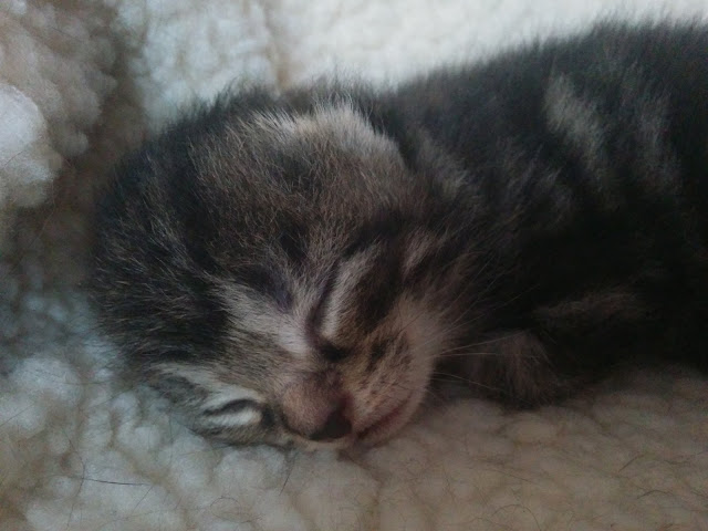 Mario Jr The Kitten 11 days old