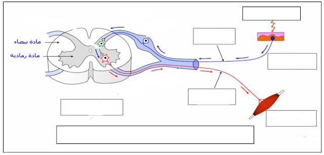 تحميل رسم تخطيطي للقوس الانعكاسي الفعل اللارادي للاستاذ حسين