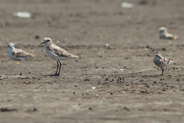 Lesser Sand Plover along with Little Stint