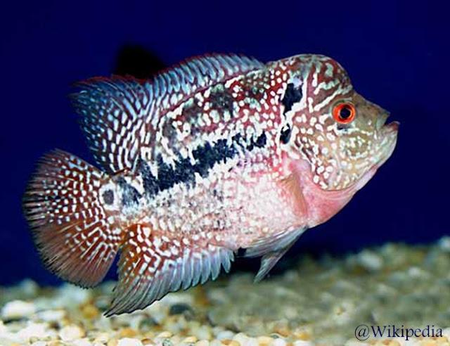 Ikan louhan kamfa malau