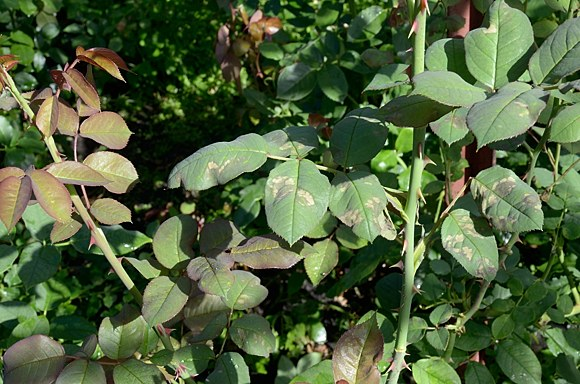 Ложная мучнистая роса на розах пероноспороз борьба защита препараты