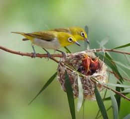 Chú chim non, tổ chim, chim chích bông