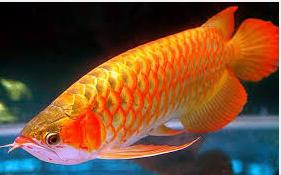 Ikan Hias Mahal warna kuning