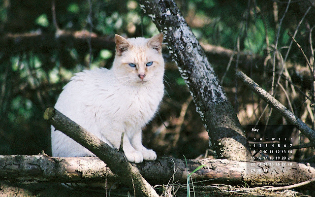 free desktop wallpaper calendar for May 2011, White Feral Cat. Click for full size, right-click and select save as desktop background