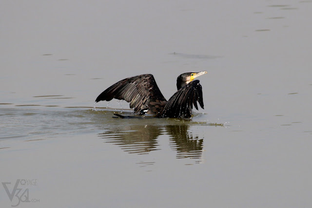 Great Cormorant, preparing to take flight