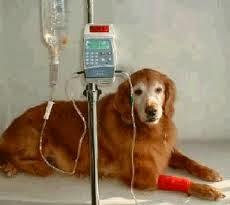cães com disfunção renal