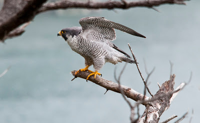 peregrine falcon facts
