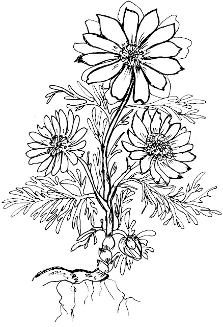 zagadki-pro-vesennie-cvety-podsnezhniki-adonis-раскраска