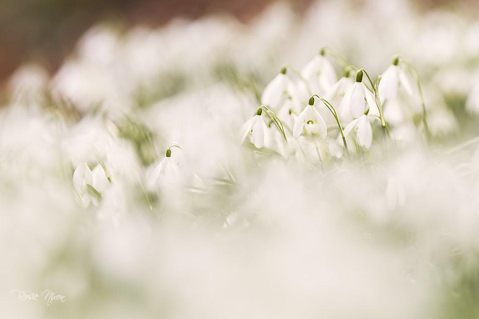 winter garden photography - a swath of single snowdrops
