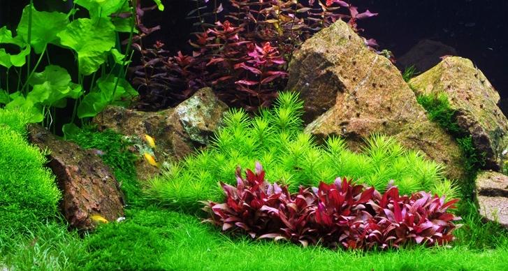Huyết tâm lan mini có thể trồng ở vị trí tiền cảnh trong hồ thủy sinh