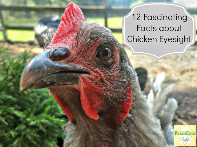 Do You See What I See? 12 Fascinating Facts about Chicken Eyesight ...