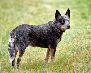 Australian Cattle dog intelligene