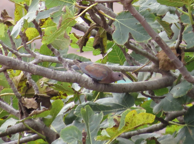 Laughing Dove - Fuerteventura