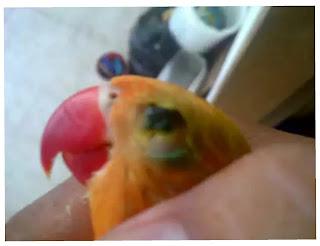 Ciri fisik lovebird yang sakit