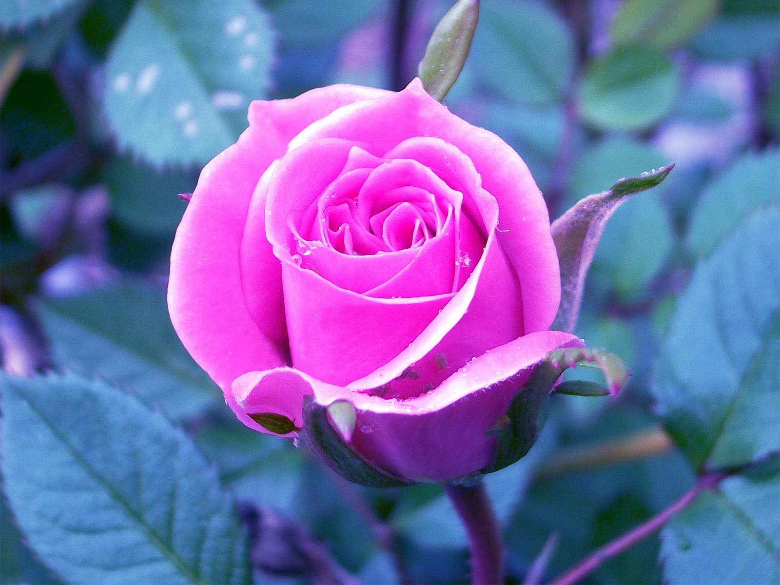 Rosas Wallpapers 3d Tabloide Do Brasil Looking For Offers Rosas Lindas