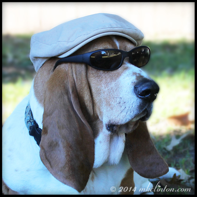 Bentley Basset wearing sunglasses and a beret.