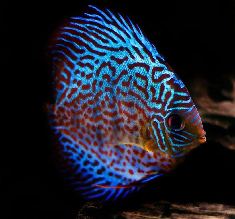 ukuran ikan discus dewasa