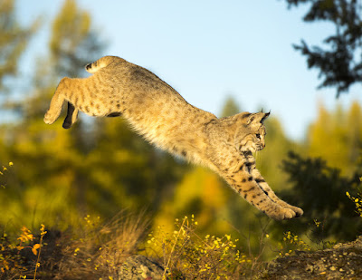 Leaping bobcat, photo via Adobe Stock