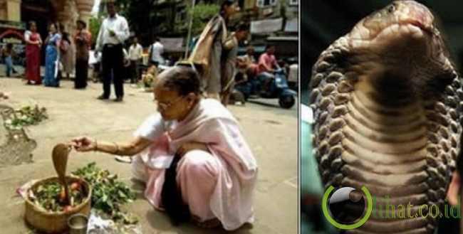 Perempuan India menikah dengan raja kobra