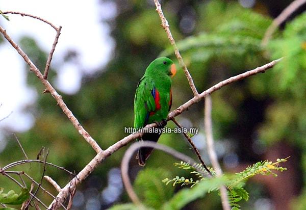 Raja Ampat Green Parrot