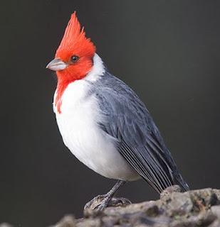 Suara burung kardinal jambul merah
