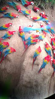 macaws feeding at clay lick