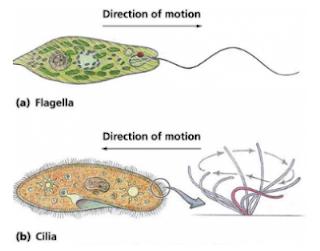 Morfologi, Organella, Nutrisi dan Reproduksi ProtozoaAnatomi dan Morfologi Protozoa, Organella untuk Pergerakan Protozoa, Cilia dan flagella, Perbedaan Cilia dan flagella yang merupakan alat gerak pada protozoa, Perbedaan Cilia dan flagella yang merupakan alat gerak pada protozoa, Mekanisme pergerakan kaki semu pada protozoa, Vakuola kontraktil berfungsi menjaga keseimbangan cairan pada Protozoa, Binary fission atau pembelahan biner pada  Paramecium ( Protozoa ), Organella untuk Pergerakan Protozoa, Pseudopodia atau kaki semu, Nutrisi dan Sistem Pencernaan Protozoa, Sistem ekskresi dan osmorgulasi pada Protozoa, Sistem Reproduksi Protozoa