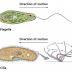 Morfologi, Organella, Nutrisi dan Reproduksi Protozoa