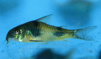 Jenis Ikan Corydoras ahrhardti