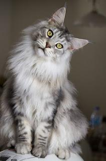 kucing lucu berbulu tebal