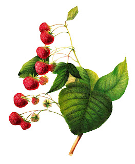fruit raspberry image berry clip art botanical digital download