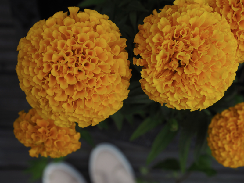 Oranssin keltainen samettikukka