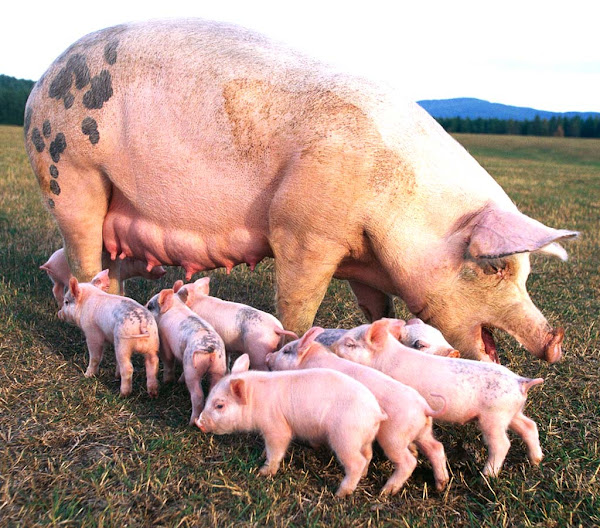pig farming, pig farming business, pig farming in Nigeria, pig farming business in Nigeria