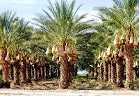 tempat jual pohon palm kurma bekasi