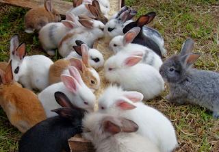 Budidaya Ternak Kelinci