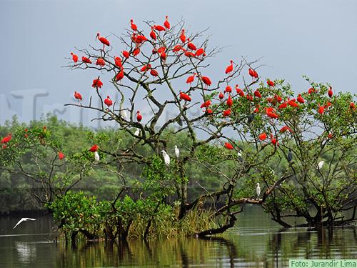 Guarás - Sua cor vermelha intensa do guará, destaca-se ainda mais em grandes bandos